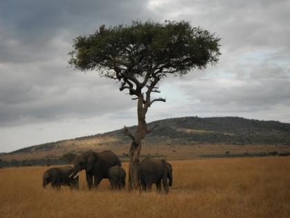 Elephants in Maasai Mara